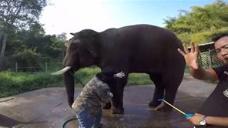 Cleaning Out an Abscess on an Elephant