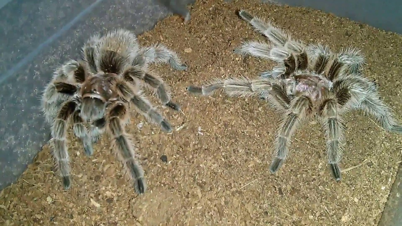 「tarantula mating」の画像検索結果