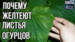 Почему у огурцов желтеют и сохнут листья и что с этим делать. Дачные советы огородникам
