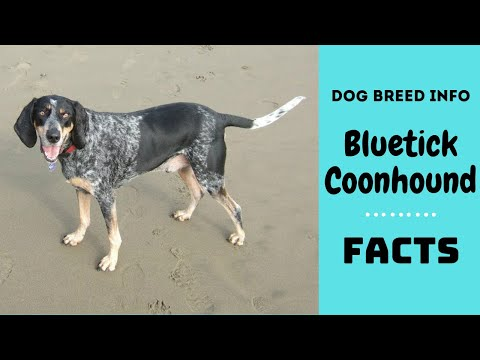 Bluetick Coonhound dog breed. All breed characteristics and facts about Bluetick Coonhound