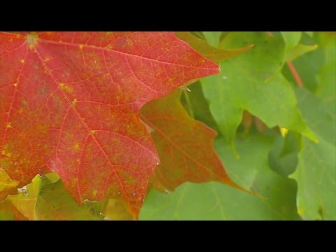 Good Question: What Makes For Bright, Colorful Leaves?