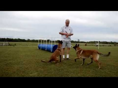 Belgian Malinois facing fear