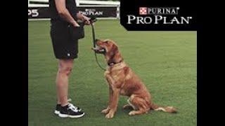Dog Obedience - Sit - Pro Plan P5 Training