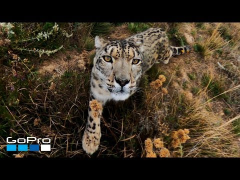 GoPro Awards: Snow Leopard Meets MAX In 4K