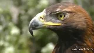 SUARA MASTER BURUNG ELANG || eagle and its distinctive voice || #Eagle #Elang #EagleVoice