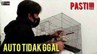Download lagu TAHAP FINISHING LOVEBIRD JANTAN DAN BETINA PALING MUDAH