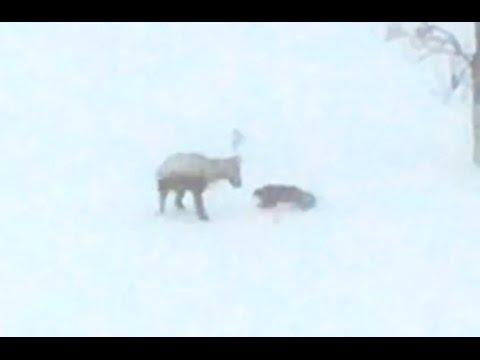 Jerveangrep på reinsdyr i Indre Troms