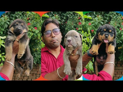 Family Plus Guard Dog's – American Bully, Rottweiler & German Shepherd – 9896504757 Doggyz World