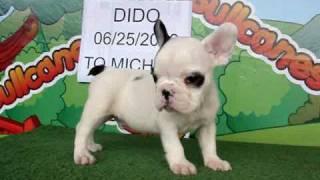 Dido - French Bulldog For Sale / Www.bullcanes.net / Ceo@bullcanes.net