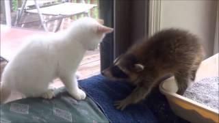 Милые Еноты и Кошки! Забавная Видео Подборка