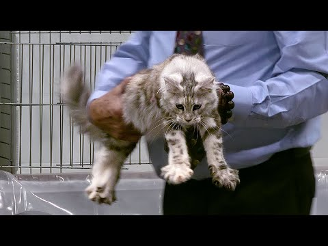CFA International Show 2019 - Longhair Kitten Class Judging - Maine Coons