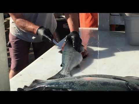 7/21/15 Cleaning salmon in Alaska
