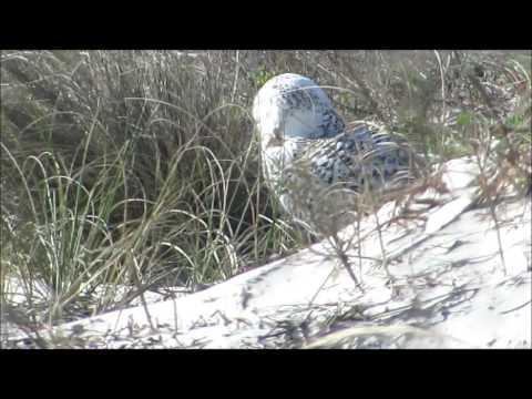 Snowy Owl Immature Female Little Talbot Island State Park, Florida