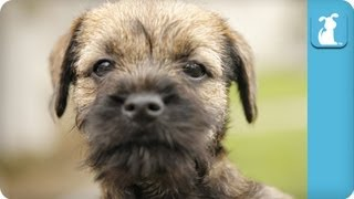 Border Terrier Puppies Running Around - Puppy Love