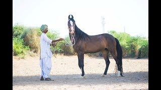 Marwari horse videography