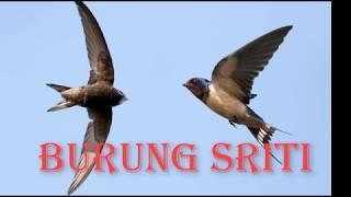 Suara Burung Sriti Paling gacor Juara 2018
