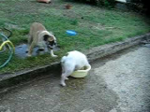 Camilla bulldog inglese bianca che si fa il bagno nella - Fare il bagno in inglese ...