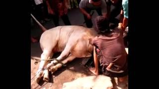 Baixar Potong sapi al-anwar tali putus