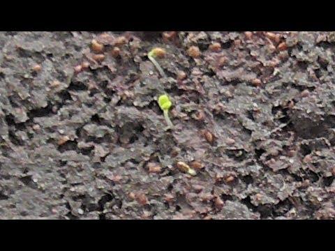 Первые всходы клубники из семян появились на восьмой день после посева