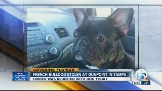 French bulldog stolen at gunpoint in Tampa