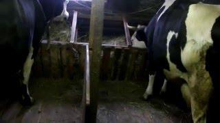 Как и чем кормить корову
