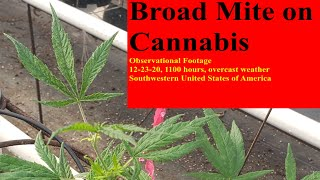 Polyphagotarsonemus latus [Broad Mite] on Cannabis