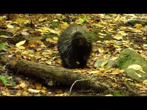 Hedgehog Forest, NH 10/10/17