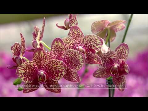 The World Dazzled by Orchid from Taiwan