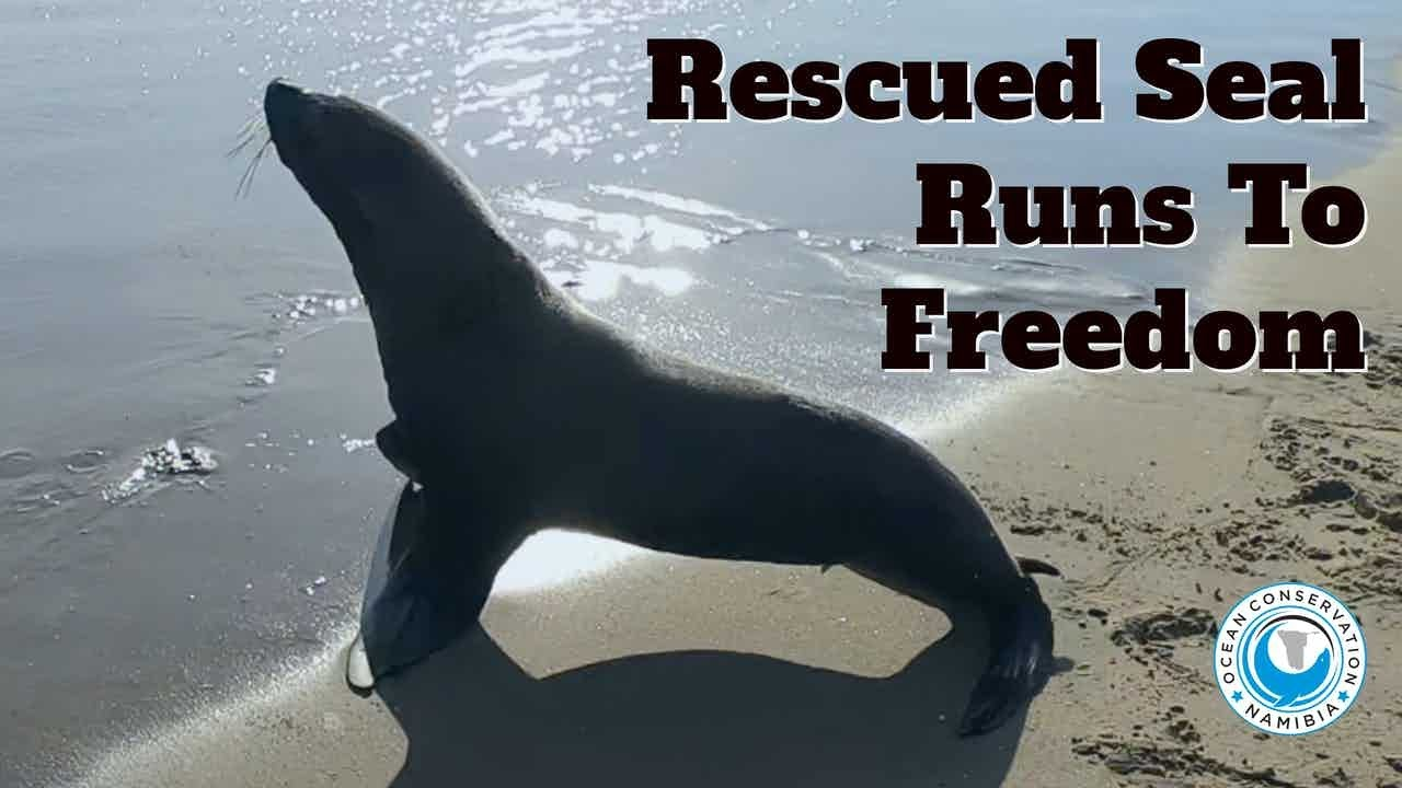 Rescued Seal Runs To Freedom