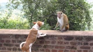 пьяная обезьяна - вожак или собака
