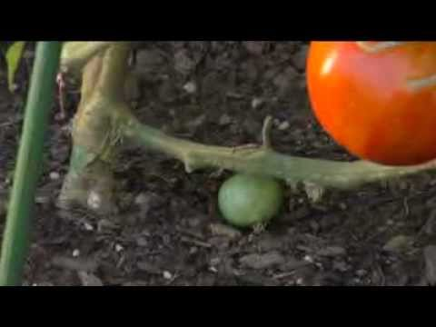 How To Grow The Perfect Tomatoes With The Ultomato | AvantGardenDecor.com    YouTube