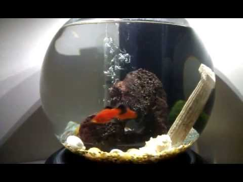 Two Red Wag Platy fish in a Tetra Waterfall Globe Aquarium Kit