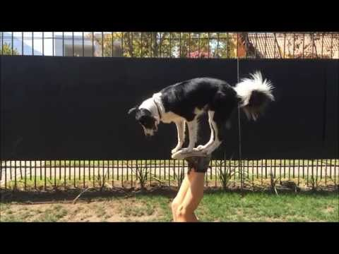 Mara Border Collie - Amazing Dog Tricks - Part 1