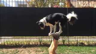 Mara Border Collie  Amazing Dog Tricks  Part 1