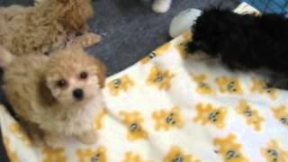 Bichon-poodle Puppies