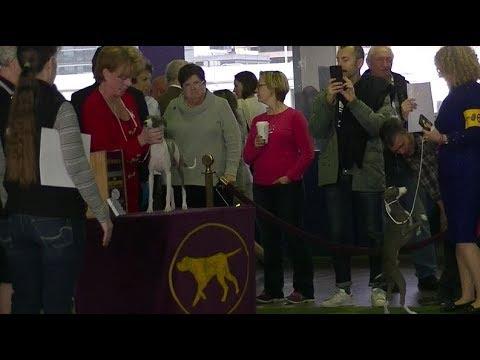 Italian Greyhounds Westminster dog show 2018 b
