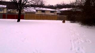 My French Mastiff Totto Playing In The Snow