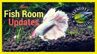 Quick Fish Room Update | Pygmy Rainbowfish | Betta Fish | African Cichlids  and Fry