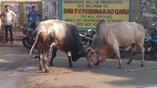 Bull fight  danvaipet Rjy.
