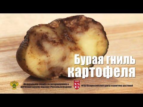 Бурая гниль картофеля