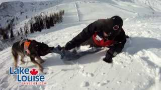 Ranger - Avalanche Rescue Dog 'in Training' - The Lake Louise Ski Resort