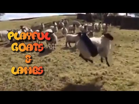 FUNNY PLAYFUL GOATS AND LAMBS - FUNNY GOATS - CUTE LAMBS - FUNNY ANIMALS COMPILATION