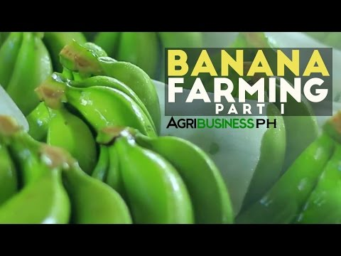 How to grow Banana Tree Part 1 : Dizon's Highland Bananas | Agribusiness Philippines