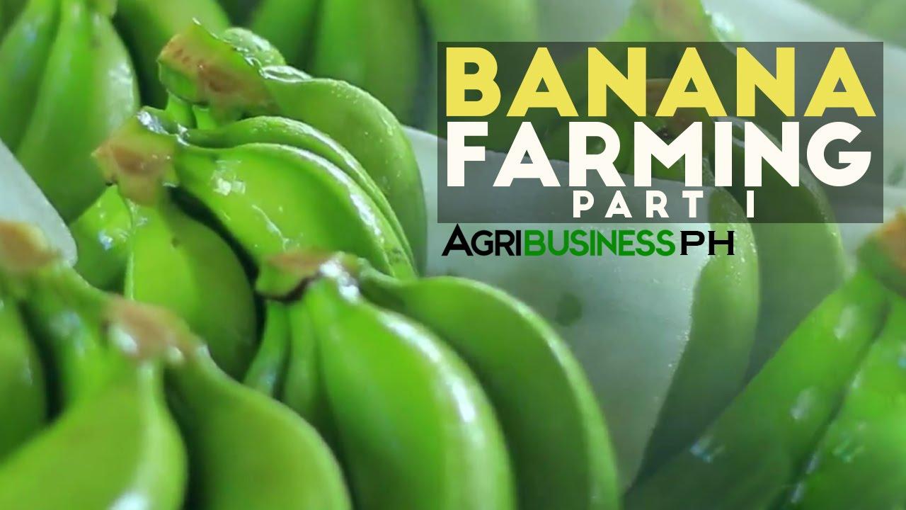 how to grow banana tree part 1 dizon s highland bananas rh youtube com