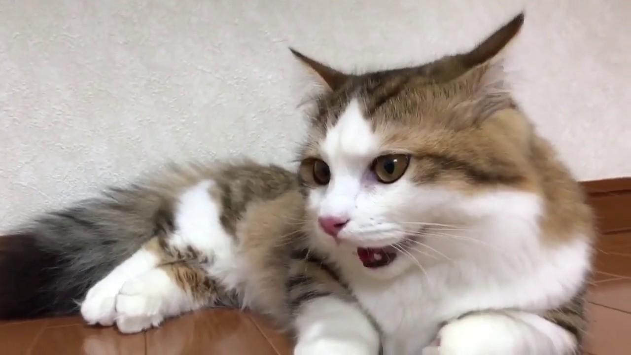 て 猫 ハーハー 口開け
