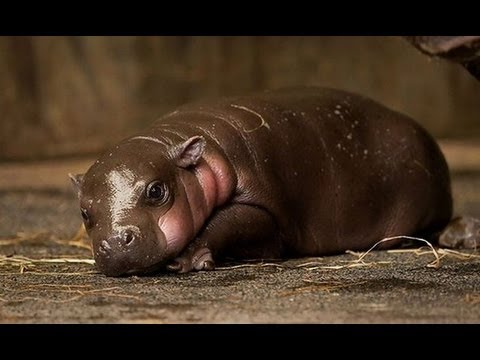 LONGEST,BIGGEST WET FART IN THE WORLD FROM A BABY HIPPO ...