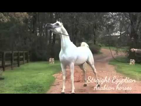 Straight Egyptian Arabian Horses
