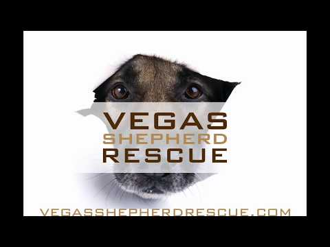Vegas Shepherd Rescue With 2 Traveling Dogs