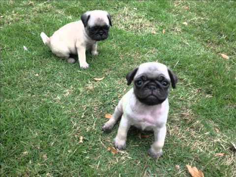 Cachorros Pug Carlino Mini Con  69 - YouTube 1b84996d269