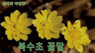 [한국의야생화]복수초 꽃말